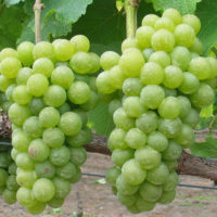 sauvignon blanc grapes close up