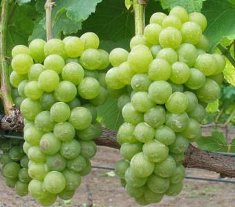 sauvignon blanc grapes close up