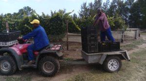 The 2017 Packwood wine harvesting team hard at work